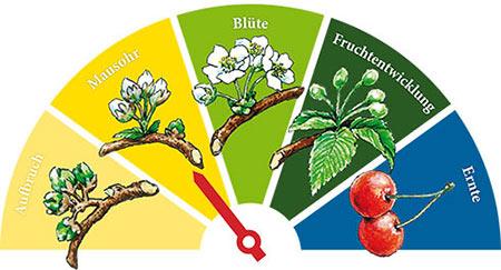 Wann ist die Kirschblüte in der Fränkischen Schweiz erreicht? Mit dem Blütenkalender sind Sie immer auf dem aktuellen Stand!