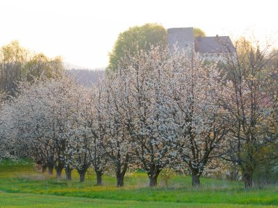 Kirschblüte Fränkische Schweiz